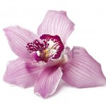 14238787-orchidee-rose-isole-sur-blanc